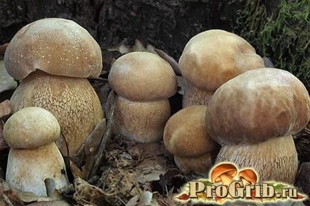 Дубовий білий гриб
