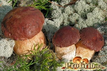 Сосновий білий гриб