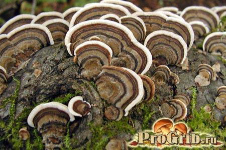 Неїстівний, але корисний гриб: трутовик різнокольоровий