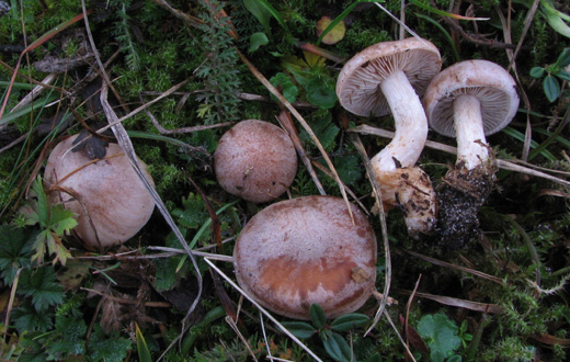 Hebeloma griseopruinatum - так був названий новий гриб, що в перекладі з латині означає