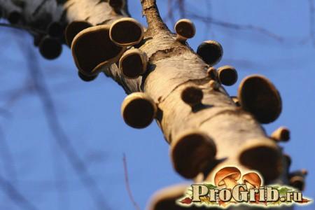 Багато трутовиків на дереві