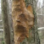 Трутовик точковий на дереві
