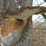 Щетіністоволосий трутовик вражає дерева