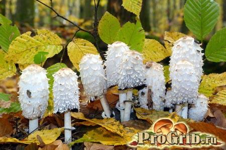 Відмінний засіб в боротьбі з алкоголізмом: опис їстівних видів гриба гнойовика