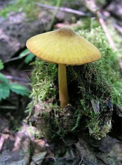 Плюти левова-жовтий (pluteus leoninus)