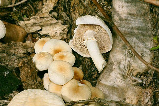 Полівка циліндрична (Agrocybe cylindracea)