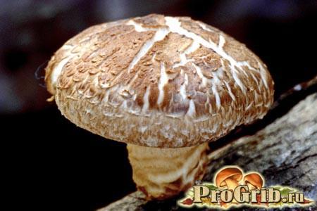Корисні властивості грибів шиітаке на варті здоров'я