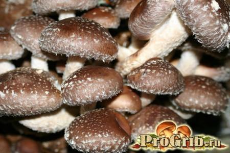 Користь сильнодіючих рослинних засобів: приготування настоянок з шиітаке