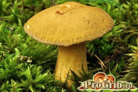 Прямий родич підберезників: опис гриба моховики