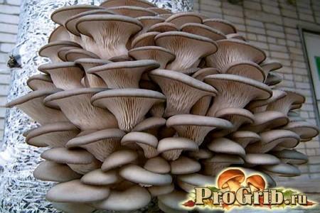 Промислове виробництво і технологія вирощування глив
