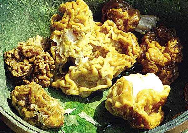 Строчок (Gyromitra esculenta, відділ сумчасті) - плодове тіло строчка звичайного схоже на головний мозок або волоський горіх