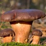 Три польських гриба в сосновому лісі