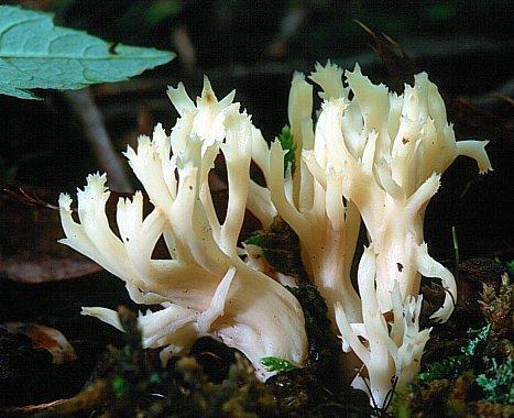 Гриб-роги: Клавуліна гребенчатая (лат. Clavulina cristata)