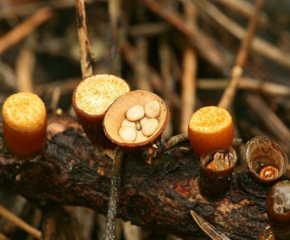 Пташине гніздо (Nidulariaceae) - гриб, що відноситься до групи цвілевих, своєю назвою гриб зобов'язаний незвичайному зовнішньому вигляду, що нагадує пташине гніздо з крихітними яєчками