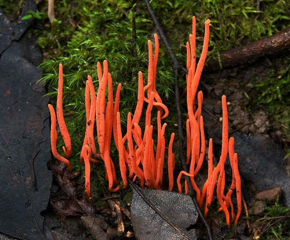 Кораловий гриб (Clavulinopsis corallinorosacea) - гриб називають так через схожість з морськими коралами