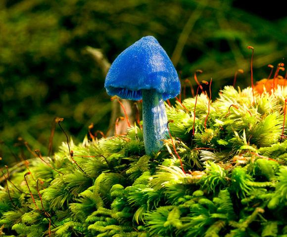 Лазурний гриб (Entoloma hochstetteri) - мешкає в лісах Нової Зеландії та Індії, ці блакитні гриби можуть бути отруйними, але їх токсичність маловивчений