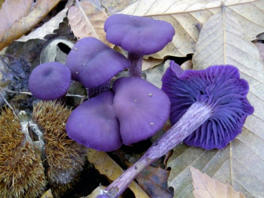 А ось гриб лаковіца аметистова (Laccaria amethystina (Huds.) Cooke, «Обманний аметист») вражає своїм фіолетовим кольором. Але з віком фіолетове забарвлення пропадає.