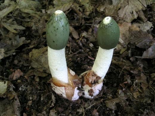 Веселка звичайна - Phallus impudicus L. - найцікавіший гриб, корисність якого ще мало оцінена. Спори цього гриба розносять комахи, залучені специфічним запахом падали. Гриб може розкладати органіку або утворювати мікоризу з буком і дубом.