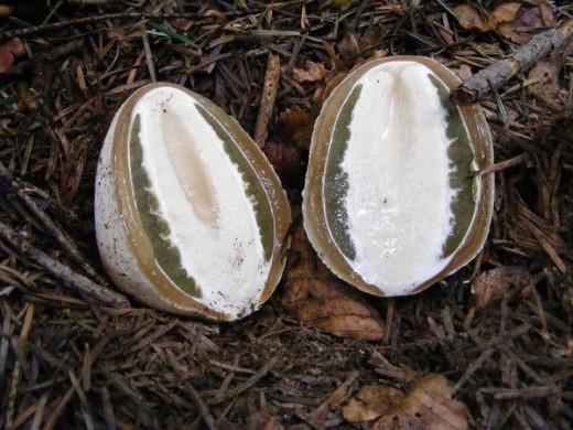 Плодове тіло утвориться дуже швидко, швидкість росту досягає декількох міліметрів в хвилину. Французи (частково і німці) поїдають цей гриб як свіжий редис (в молодій стадії «яйця»), попередньо знявши оболонку.