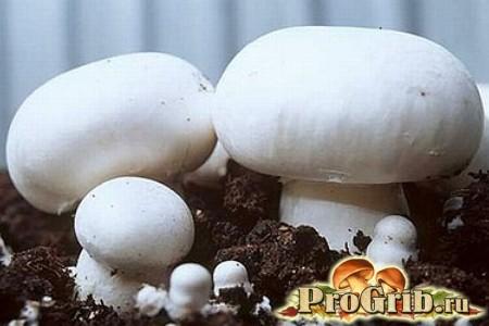 Шампіньйони - найпопулярніші культивовані гриби в світі