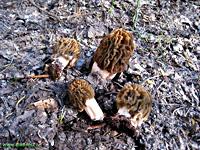 Сморчок - умовно-їстівний гриб