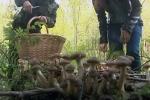 Збирати гриби допоможе смартфон
