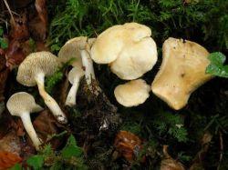 Серед їстівних грибів поповнення