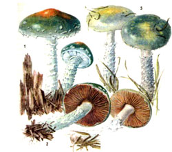 Строфарія синьо-зелена (Stropharia aeruginosa)