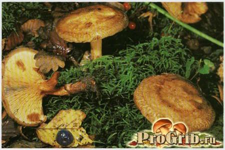 Свинушки: чи можна вживати в їжу або ці отруйні гриби?
