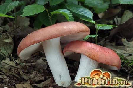 Сироїжка харчова - корисний і їстівний в сирому вигляді гриб