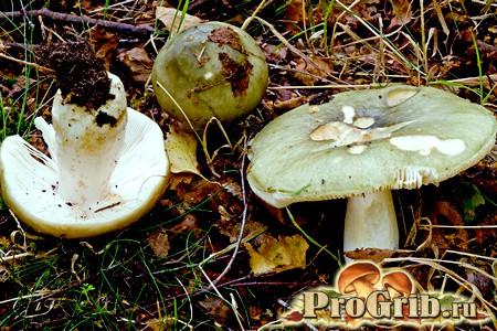 Сироїжка зелена - їстівний і смачний гриб
