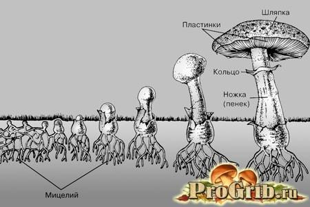 Процес розвитку гриба
