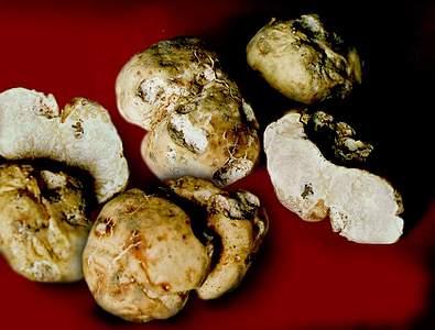 Трюфель білий (choiromyces meandriformis)