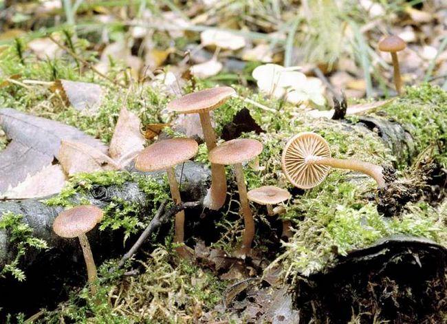 Тубар отрубістая (tubaria furfuracea)