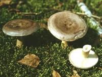 Умовно-їстівні гриби