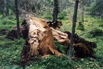 У вінницької області ліси рятують від кореневої губки