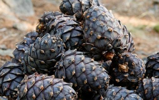 У Хакасії почався сезон збору кедрових горіхів