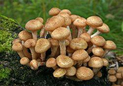 У Кузбасі зрізали найбільший гриб цього літа
