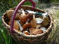 У лісах Омського регіону з'явилися перші весняні гриби