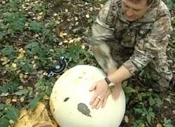 У пермському краї виріс гриб-дощовик вагою 12 кілограмів