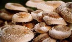 У районі зібрали перший урожай грибів, вирощених у теплиці