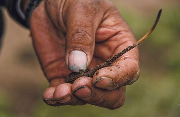 У Тибеті місцеві жителі збирають черв'яків, які коштують дорожче золота