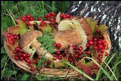 У Томській області планують збирати більше грибів та ягід