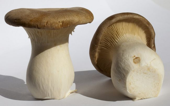 Глива степова Pleurotus eryngii