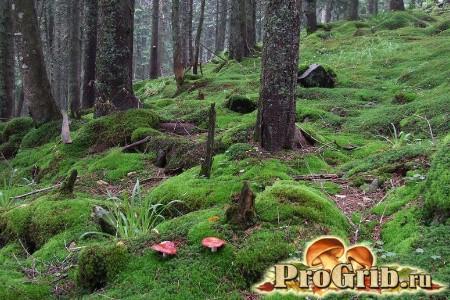 Ліс з червоними сироїжками