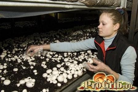 Збір врожаю грибів