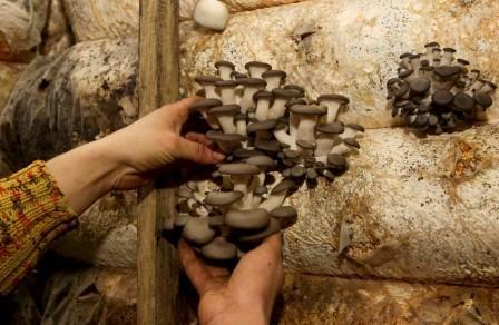 Вирощування грибів на секретній військовій базі в Білорусії
