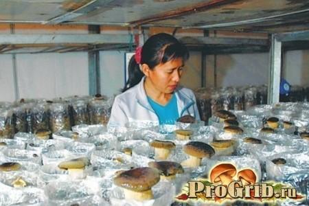 Вирощування білих грибів в закритому просторі