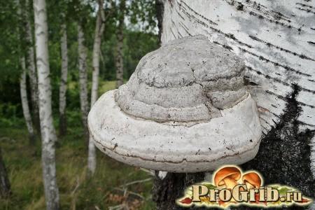 Житель листяних порід дерев: характеристика трутовика сьогодення